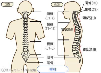 「腰椎3~5無料画像」の画像検索結果